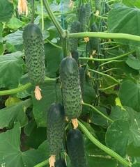 Мадрилене F1 семена огурца партенокарпического (Seminis / Семинис)