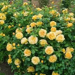 Роза парковая Голден Зест Северный огород