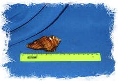 Cymatium grandimaculatum