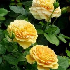 Роза парковая Голден Зест Golden Zest