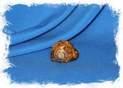 Циматиум грандимакулата (Lotoria grandimaculata)
