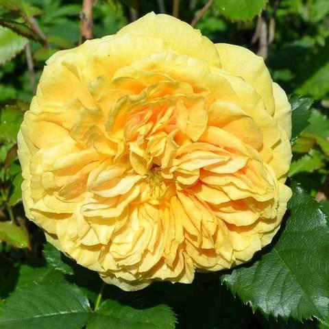 Купить Роза парковая Голден Зест