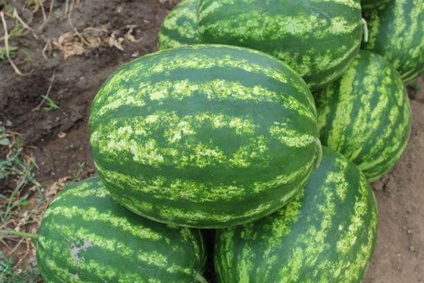 Арбуз Бархан F1 семена арбуза (Syngenta / Сингента) Бархан_F1_семена_овощей_оптом.jpg