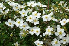 Лапчатка кустарниковая Abbotswood (белая)