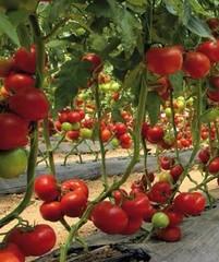 Матиссимо F1 семена томата индетерминантного (Seminis / Семинис)