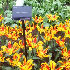 tulip-Firework-04