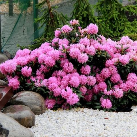 Рододендрон катевбинский_Rhododendron catawbiense Roseum Elegans