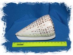 Леопардовый Конус 11-14 см.