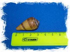 Conus dealbatus