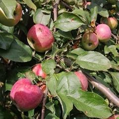 Яблоки Осенняя Красавица / 1 кг/ РАСПРОДАЖА