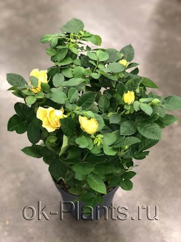 Роза Палас Желтая