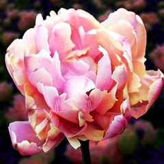 Тюльпан махровый поздний