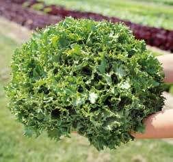 Салат Канкан семена салата листового (Hazera / Хазера) Канкан.jpg
