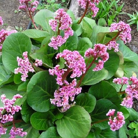 Бадан сердцелистный Lilac Rose