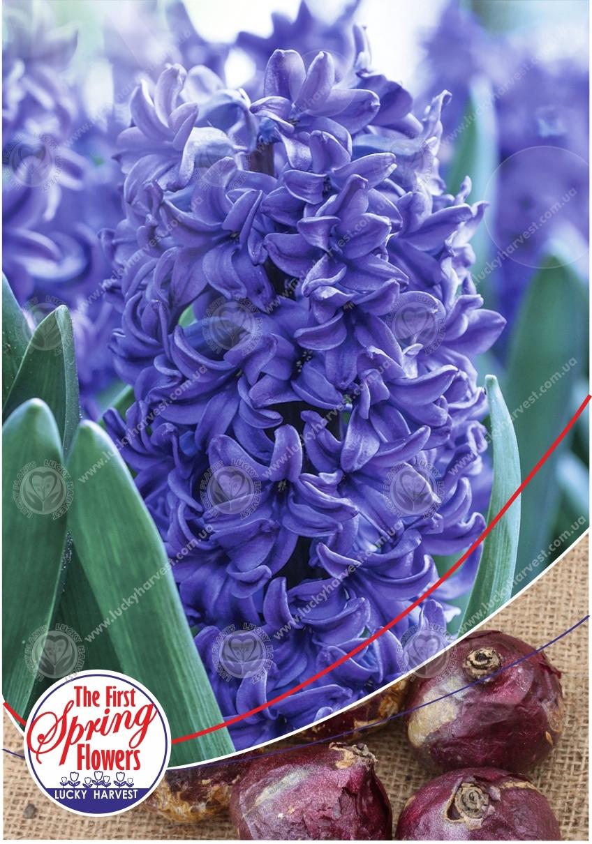 Гиацинт  Blue Pearl  (Блю Перл) TM Jan de Wit en Zonen B.V.