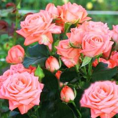 Роза спрей Барбадос