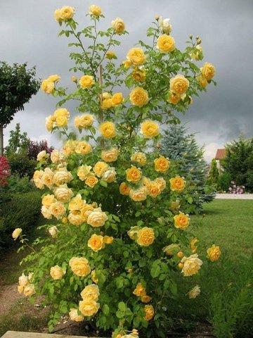 Роза плетистая Лихткенигин Лючия