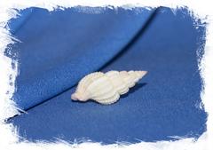 shell Антиллопхос усквамарис, Antillophos usquamaris