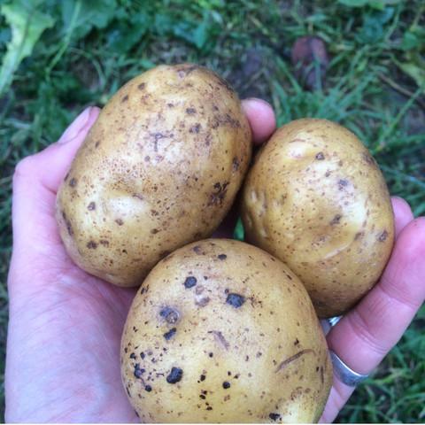 Картофель (урожай 2019)