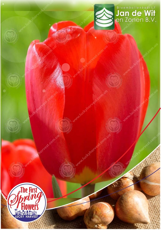 Луковицы  Тюльпана  Класса Дарвиновы  Гибриды