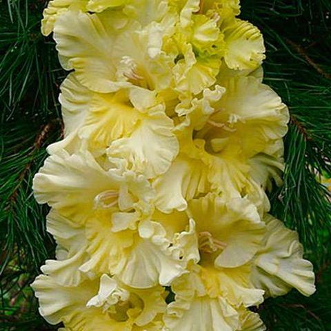 Гладиолус Банана Раффл гофрированный крупноцветковый 80 -110 см