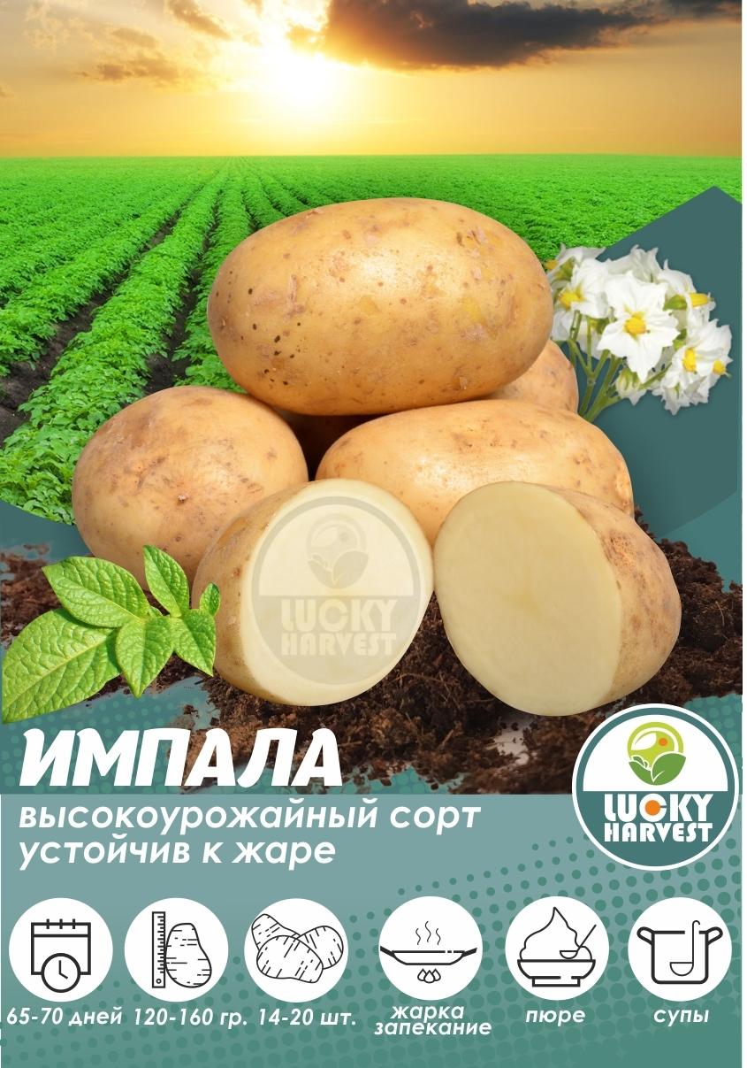 Семенной картофель ИМПАЛА  ТМ LUCKY HARVEST