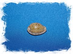 Cypraea ocellata