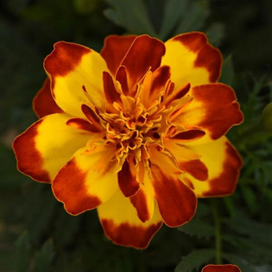 Цветы Семена цветов Бархатцы отклоненные Фламенко, PanAmerican Seed, 15 шт. FLAMENKO.png