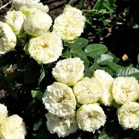 Заказать Роза миниатюрная Бланшет