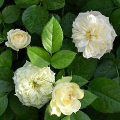 Роза миниатюрная Бланшет Северный огород