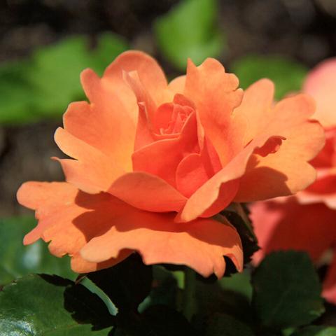 Роза флорибунда Роза Изи Даз Ит