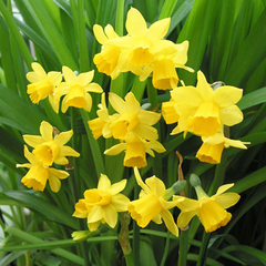 Нарцисс Ботанический Тет-а-Тет