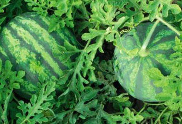 Арбуз Бостана F1 семена арбуза (Syngenta / Сингента) Бостана_F1_семена_овощей_оптом.jpg