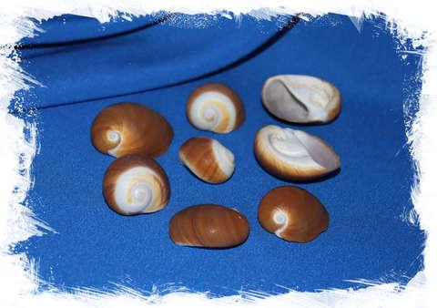 Ракушки Polinices albumen