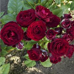 Роза миниатюрная Блэк Джек