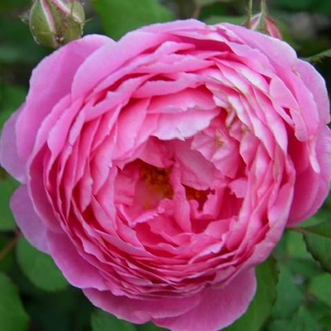 Роза английская душистая Бардолино (Алан Титчмарш)