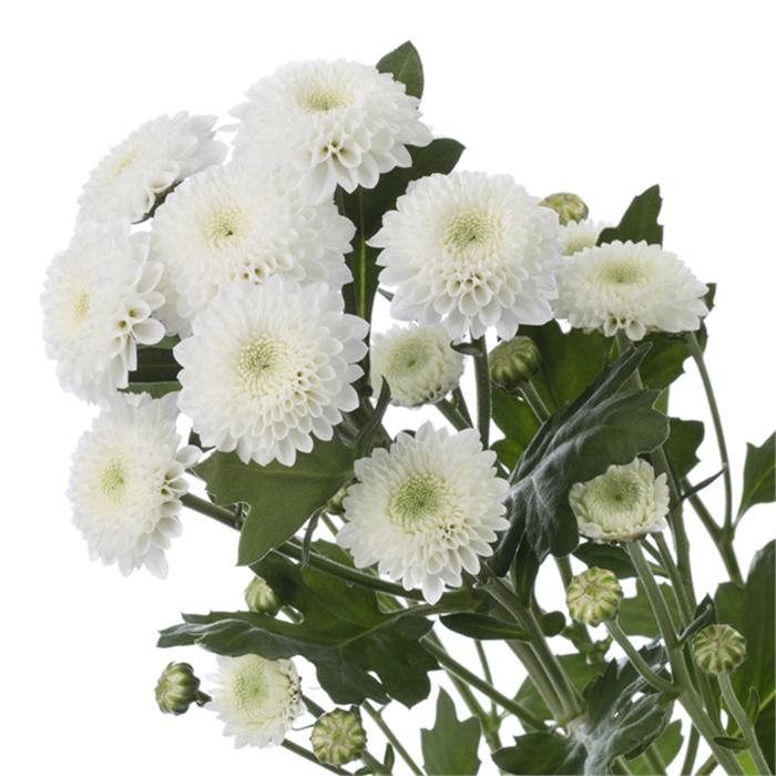 Купить белую кустовую помпон хризантему Коконат в Перми