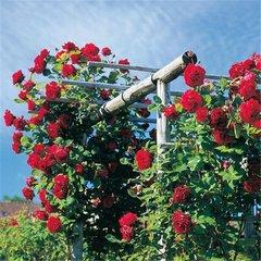 Роза плетистая Месье Дельбар