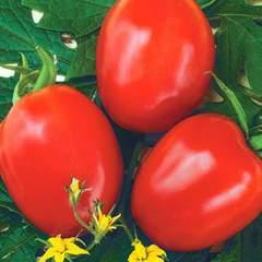 Фоккер F1 семена томата детерминантного (Nunhems / Нюнемс)