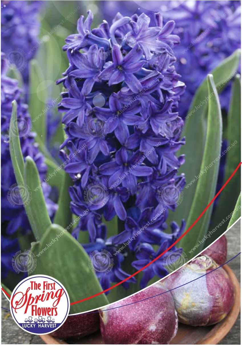 Луковицы Гиацинта  Крупноцветкового