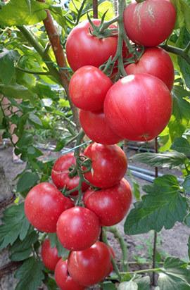Томат Пинк Клейр F1 семена томата индетерминантного (Hazera / Хазера) Пинк_Клейр.jpg