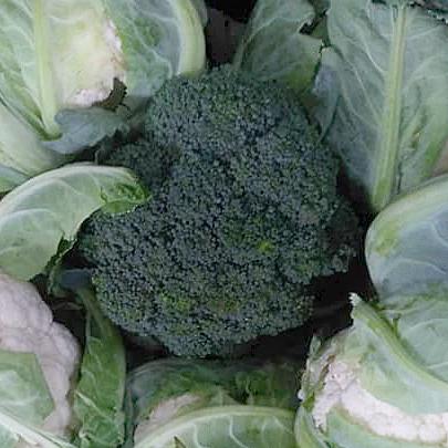 Фотография Капуста брокколи свежая / 1 кг / РАСПРОДАЖА купить в магазине Афлора