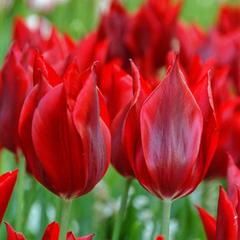 tulip-Pieter-de-Leur