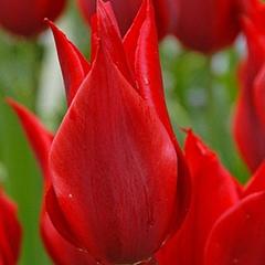 tulip-Pieter-de-Leur-01