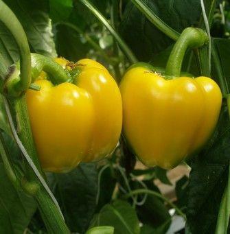 Перец Дерби F1 семена перца сладкого (De Ruiter Seeds / Де Ройтер Сидс) Дерби_F1__Derby_F1__семена_овощей_оптом.jpg