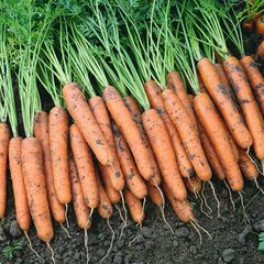 Семена моркови Самсон, Bejo, 1 гр.