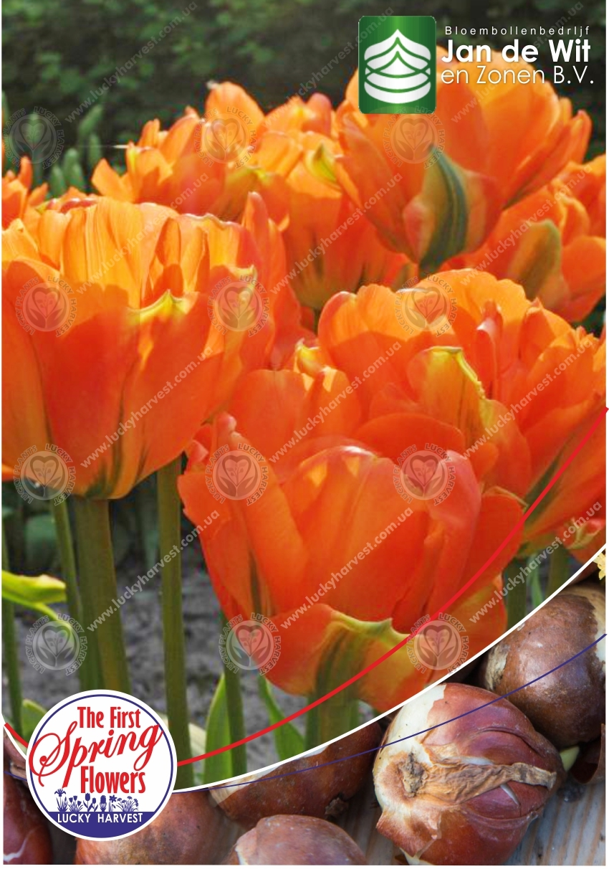 Луковицы Махрового Раннего Тюльпана