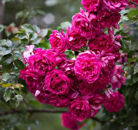 Роза плетистая Лагуна