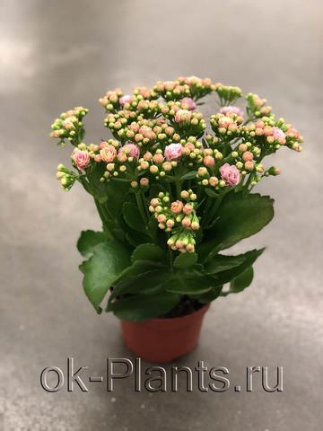 Каланхоэ Каландива Розовое