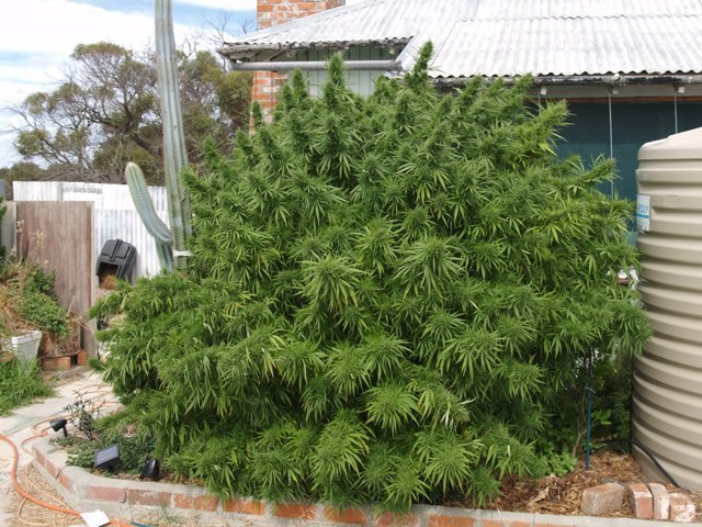 Продажа семечки конопли как следить за марихуаной